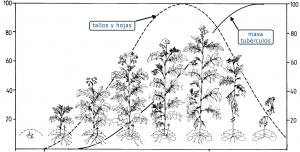 patata ciclo crecimiento